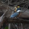 Kingfisher Pantanal_10-09-27_7I2B0060