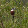 Kingfisher Pantanal_10-09-27_7I2B0050