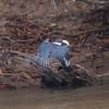 Kingfisher Pantanal_10-09-28_7I2B9956