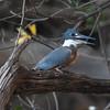 Kingfisher Pantanal_10-09-27_7I2B0061