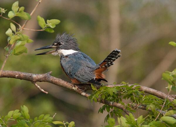 Kingfisher Pantanal_7I2B0233_10-09-28