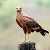 Savana Hawk