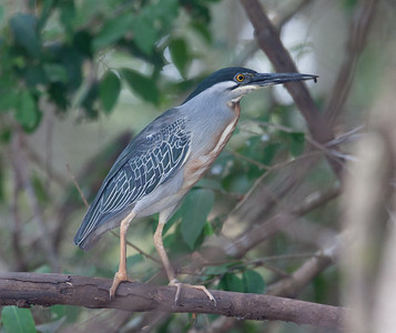 BluStripeHeron Pantanal_7I2B8777_10-09-24
