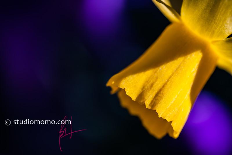 daffodil (Narcissus spp.), taken 3/3/2013, UBC Botanical Garden