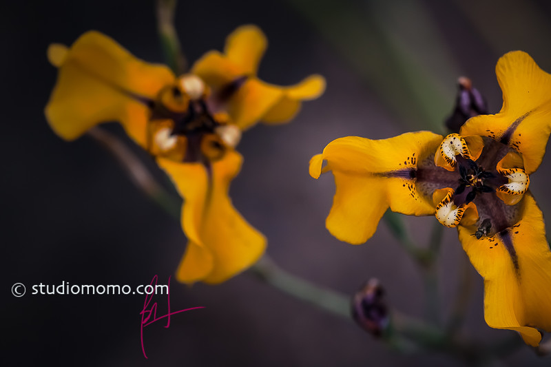 goblet flower (Cypella herbertii)