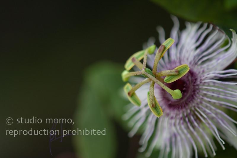 Passiflora miersii, taken 8/29/2012, UW Botany Greenhouse, Seattle