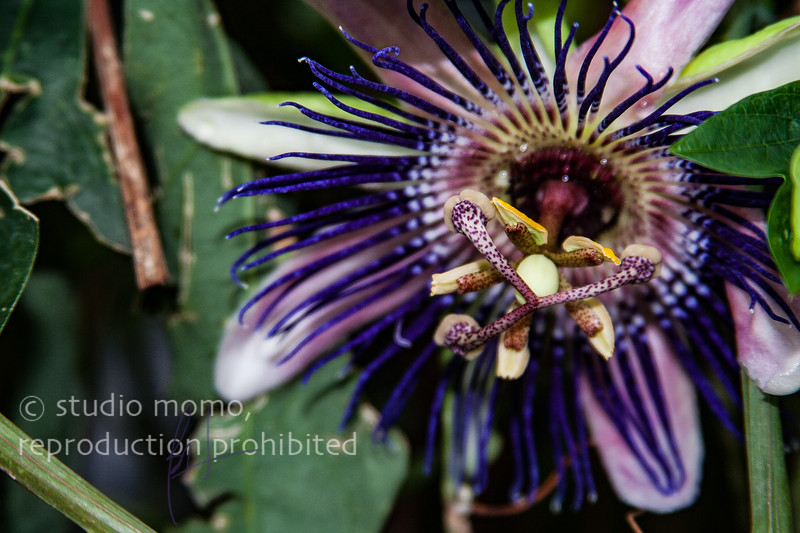 passionflower ii