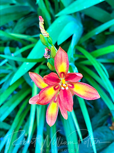4781-Red/Yellow Iris