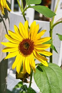 2687-Sunflower