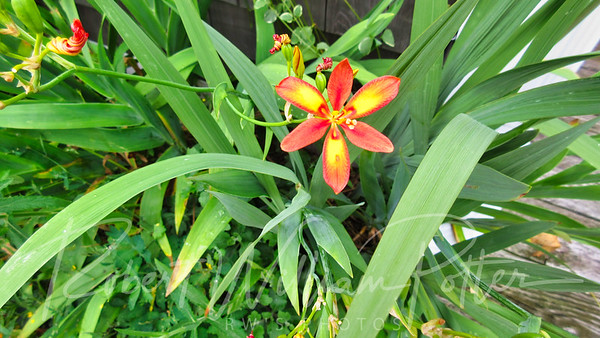 Orange Yellow Iris