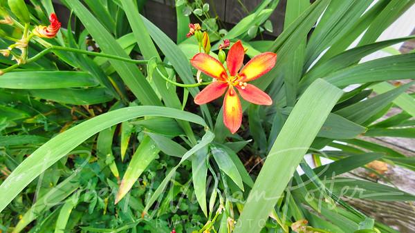 Orange Yellow Iris