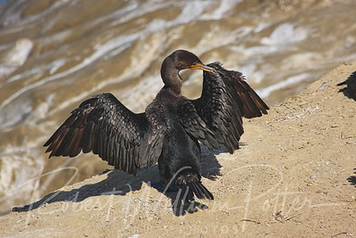 7379-Double-crested Cormorant