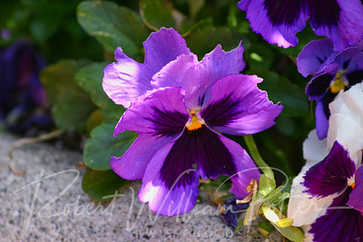 7956-Purple Pansy