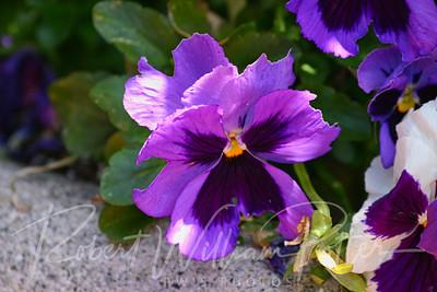 7956-Purple Pansy