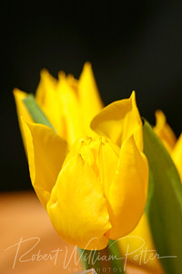 7953-Yellow Tulip