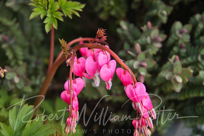 0173-Bleeding Heart