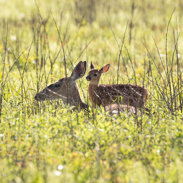 Deer in Big Meadow