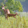 Deer at Big Meadow in Shenandoah