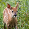 Big Meadow Fawn