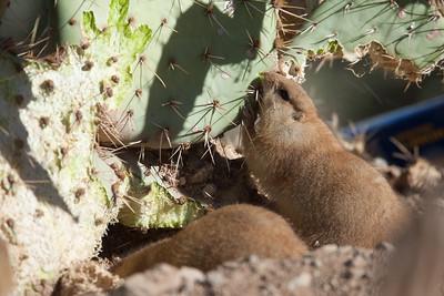 PrarieDog Tucson_10-10-23_7I2B0401