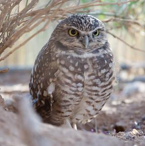 BurrowingOwl Tucson_10-10-23_7I2B0376