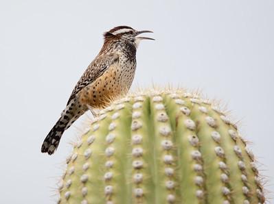 CactusWren Tucson_10-10-23_0009