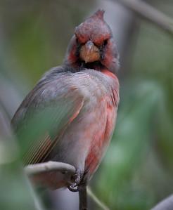 Cardinal Tucson_10-10-23_IMG_2349