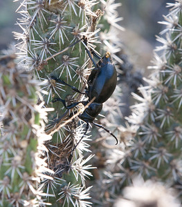 Beetles Tucson_10-10-26_IMG_2676