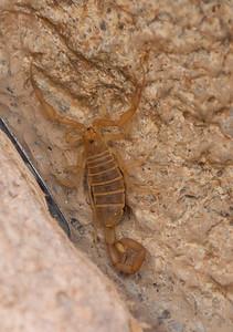 Scorpion Tucson_10-10-23_IMG_2408
