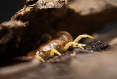 Centipede Tucson_10-10-23_IMG_2190