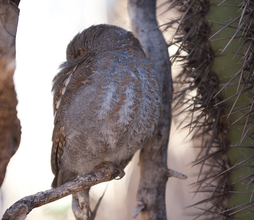 TinyOwl Tucson_10-10-23_IMG_2442