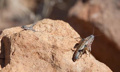 Grasshopper Tucson_10-10-26_7I2B0436