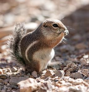 AntelopeGrndSquirrel Tucson_10-10-23_IMG_2418