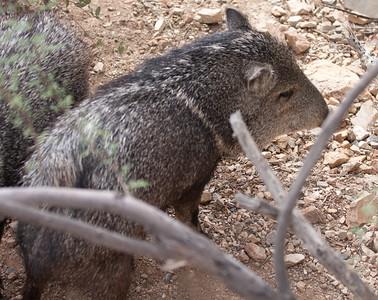 Javelina Tucson_10-10-23_IMG_2398