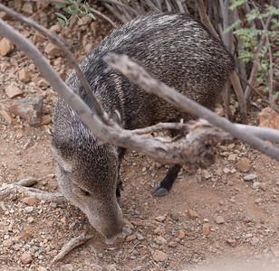 Javelina Tucson_10-10-23_IMG_2395