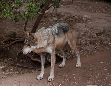 MexWolf Tucson_10-10-23_IMG_2222