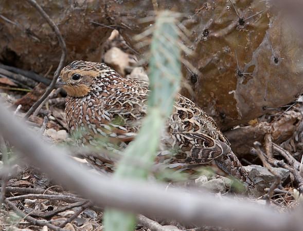Bobwhite Tucson_10-10-23_IMG_2301