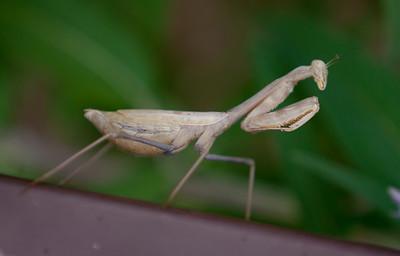 Mantis Tucson_10-10-25_IMG_2549