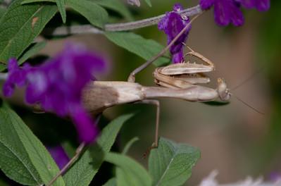 Mantis Tucson_10-10-25_IMG_2553