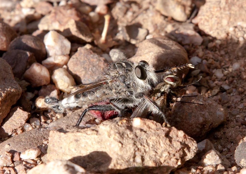 RobberFly Tucson_10-10-25_IMG_2652
