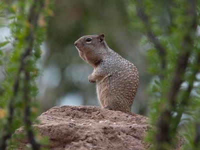 GrndSquirrel Tucson_10-10-23_0006