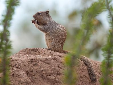 GrndSquirrel Tucson_10-10-23_0002
