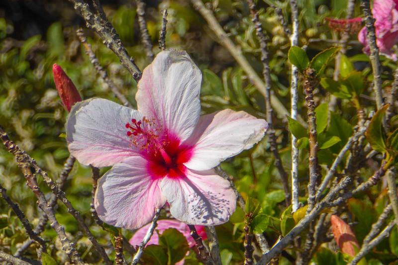 Very Hardy Hibiscus