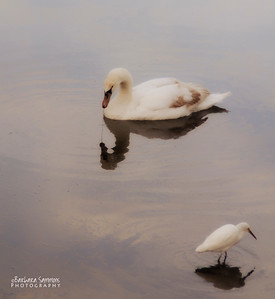 Mute Swan and Egret - Huntington Beach State Park, Murrells Inlet, SC