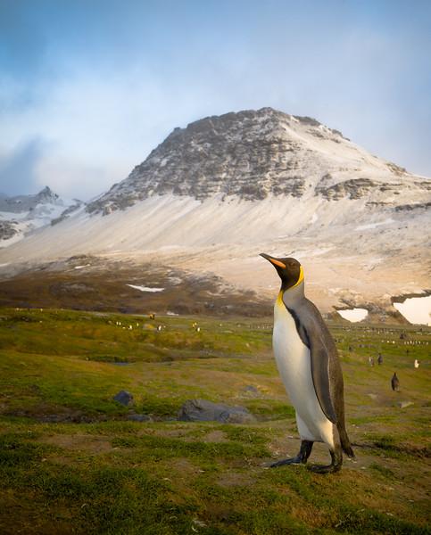 King Penguin at St. Andrew's Bay