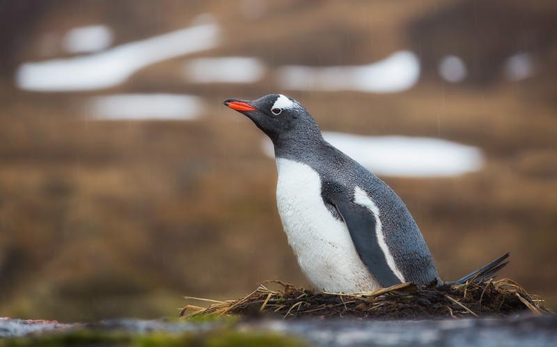 Gentoo Penguin on Nest