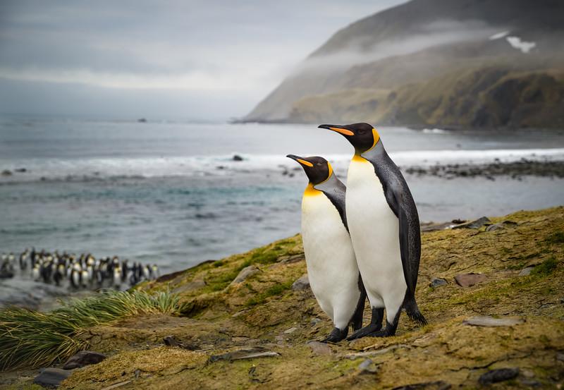 King Penguin Pair • Gold Harbour