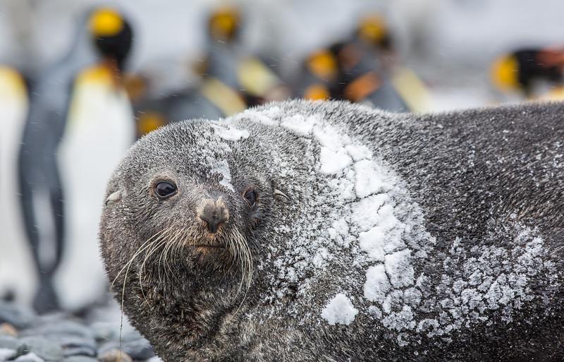 Freezing Fur Seal