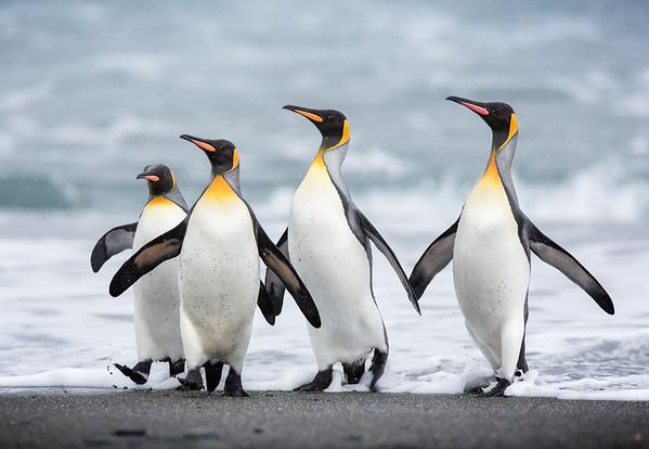Penguin Posse