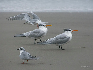 Royal Terns on Yaupon Beach - Oak Island, NC